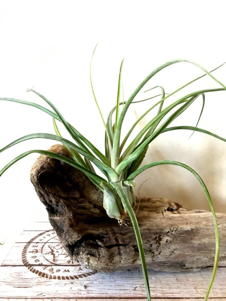 チランジア・ナチュラリーゴージャス Tillandsia Naturally Gorgeous (T. streptophylla X T. abdita)