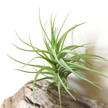 【Frontier Plants】オンラインストア4月28日入荷予定チランジア紹介【エアープランツ】
