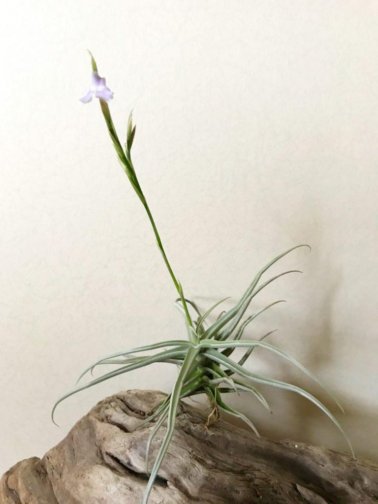 チランジア・ライヘンバッキー Tillandsia reichenbachii