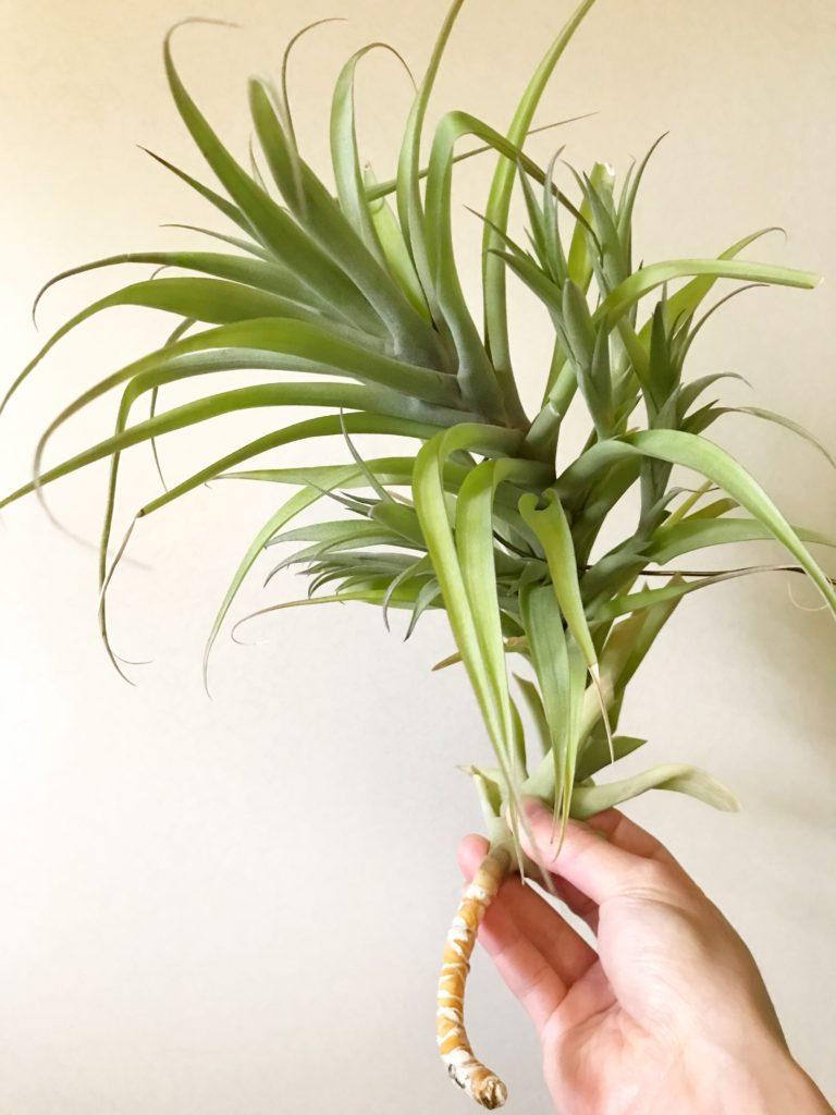 チランジア・ラティフォリア・カウレッセント Tillandsia latifolia 'Caulescent'