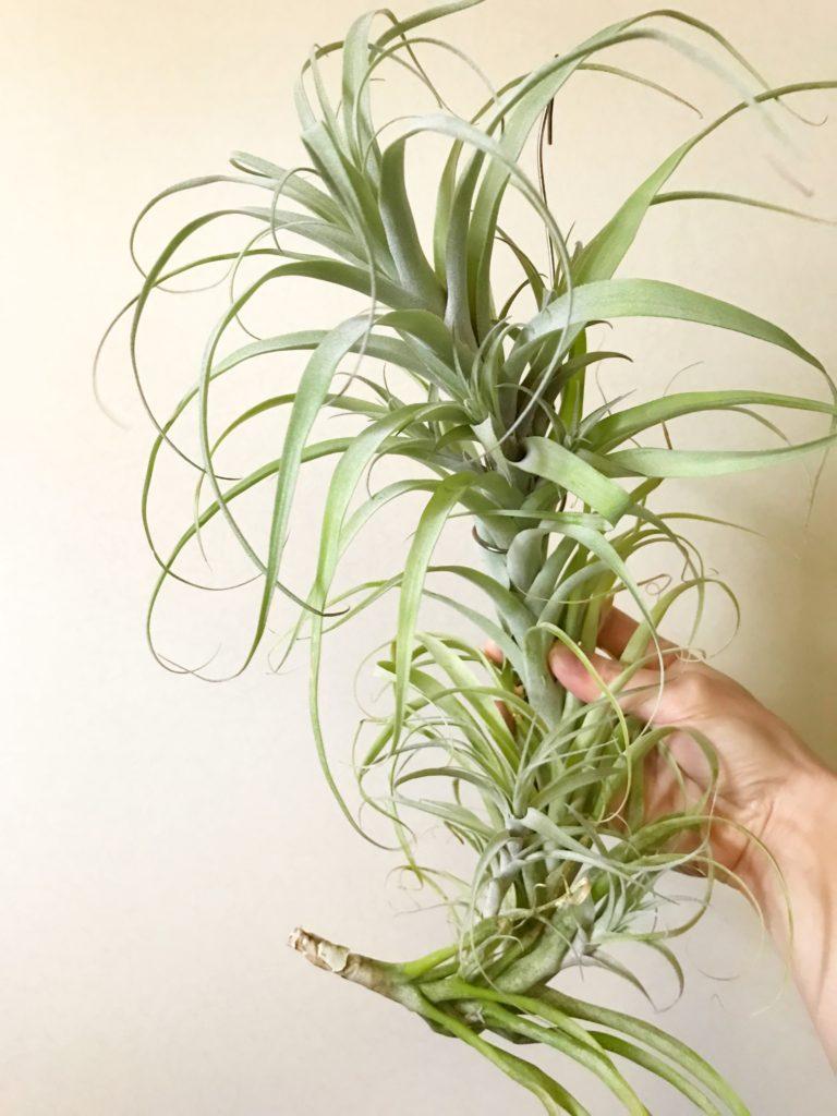チランジア・クエロエンシス(ケロエンシス) Tillandsia queroensis