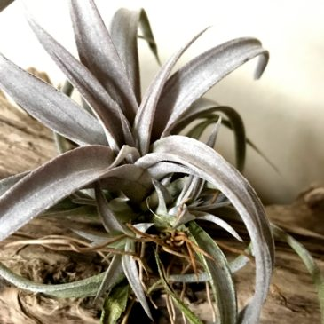 【Frontier Plants】オンラインストア5月5日入荷予定のチランジア紹介 前編【エアープランツ】