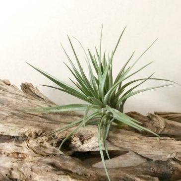 チランジア・アエラントス・グレイゴースト Tillandsia aeranthos 'Gray Ghost' ティランジア育て方 図鑑