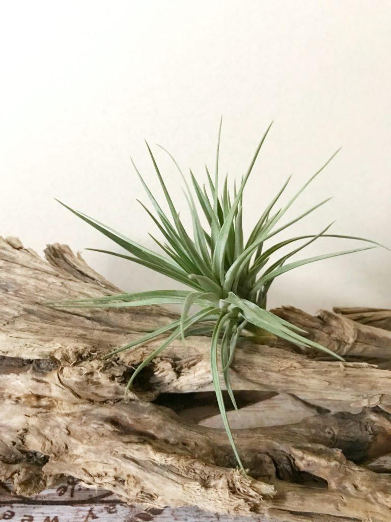 チランジア・アエラントス・グレイゴースト Tillandsia aeranthos 'Gray Ghost'