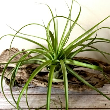チランジア・ケゲリアナ×ロシー Tillandsia kegeliana x T.rothii ティランジア育て方 図鑑