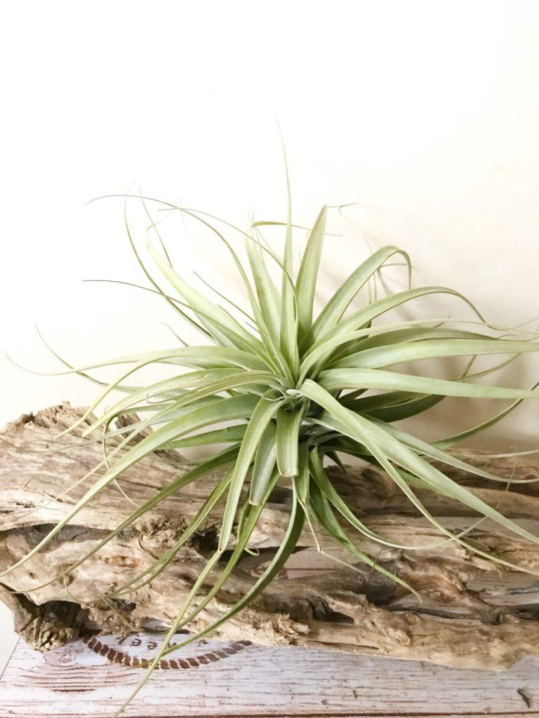 チランジア・セレイコラ Tillandsia cereicola