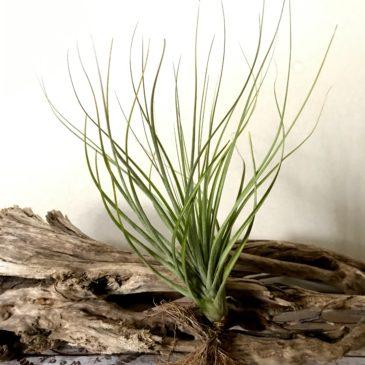 チランジア・ロドリゲジアナ・ハイブリッド Tillandsia rodrigueziana 'Hybrid' ティランジア育て方 図鑑