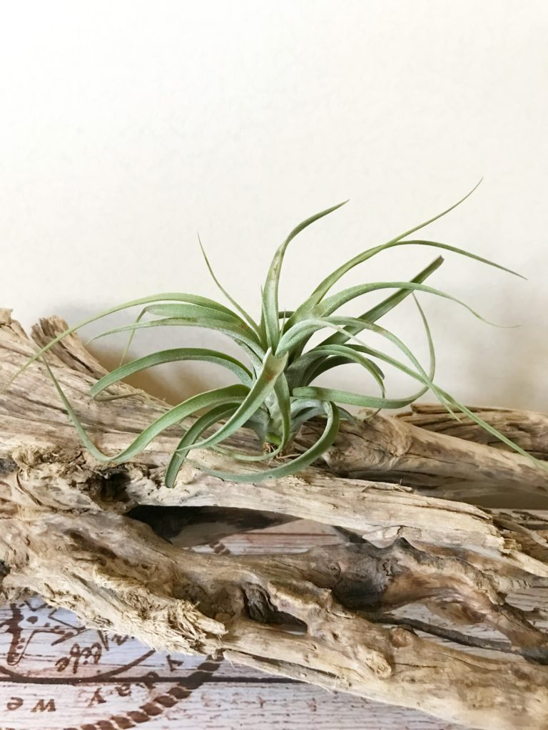 チランジア・コンコロール×ストレプトフィラ Tillandsia concolor × T.streptophylla