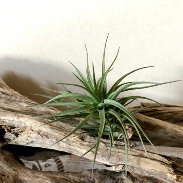チランジア・アエラントス・ブロンズ Tillandsia aeranthos 'Bronze' ティランジア育て方 図鑑