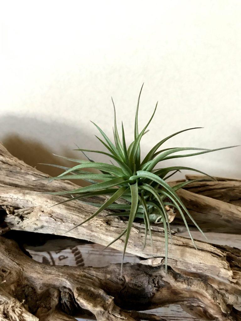 チランジア・アエラントス・ブロンズ Tillandsia aeranthos 'Bronze'