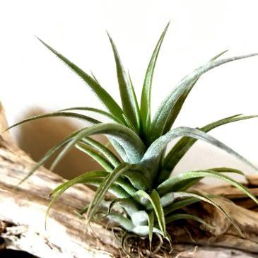 【Frontier Plants】オンラインストア6月2日入荷予定チランジアの紹介【エアプランツ】