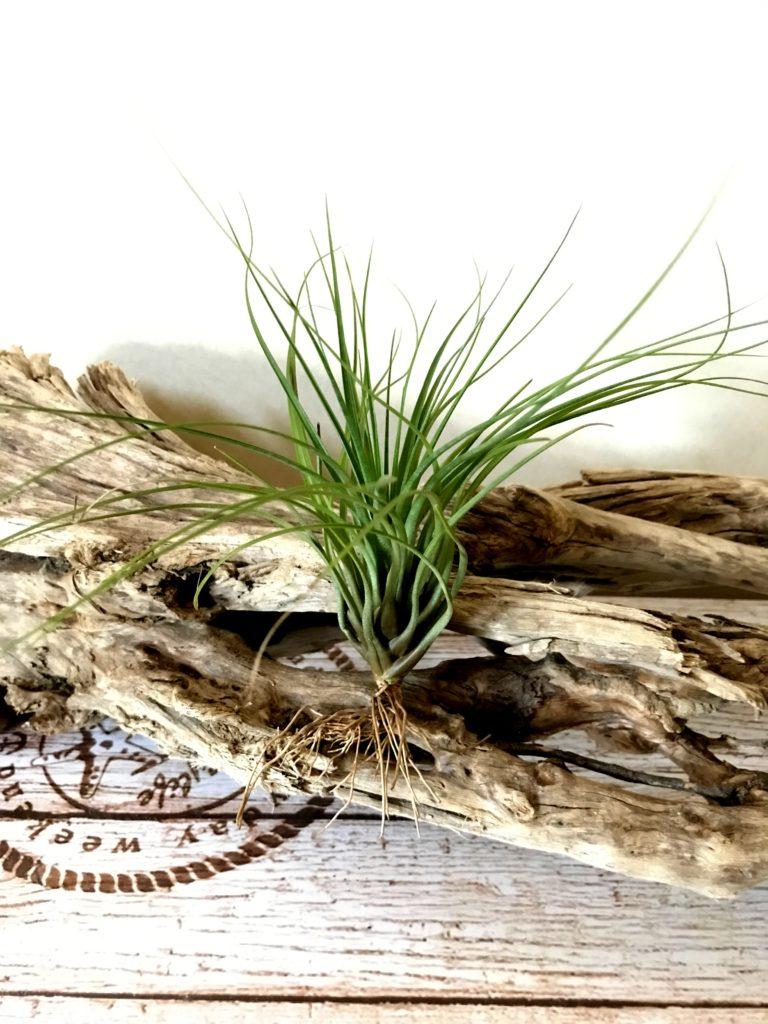 チランジア・ロドリゲジアナ・メキシカンフォーム Tillandsia rodrigueziana 'Mexican Form'