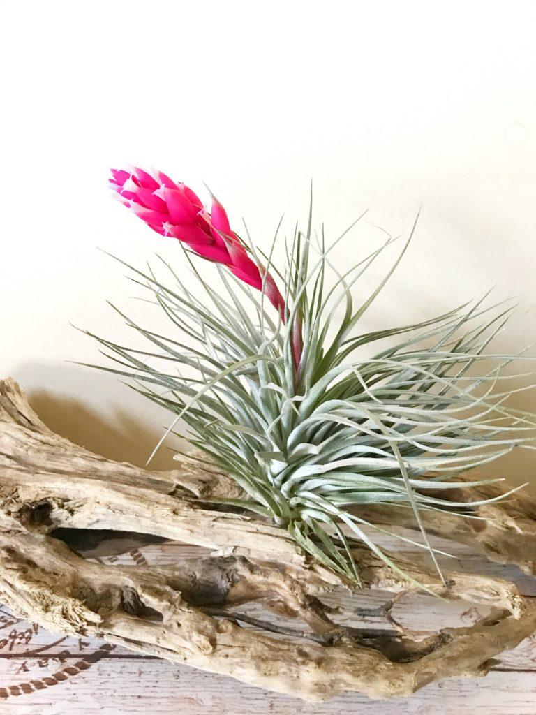 チランジア・ヒューストン・レッドプリンセス Tillandsia Houston 'Red Princess' (T.stricta × T.recurvifolia)