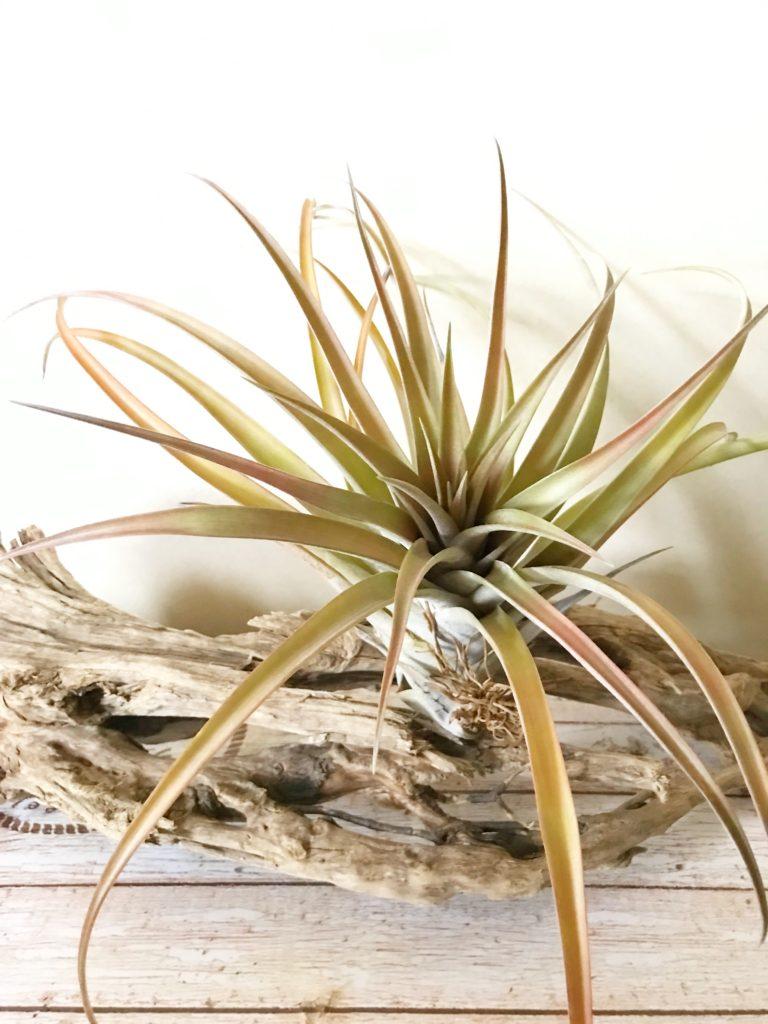 チランジア・スーパーインシグニス Tillandsia superinsignis