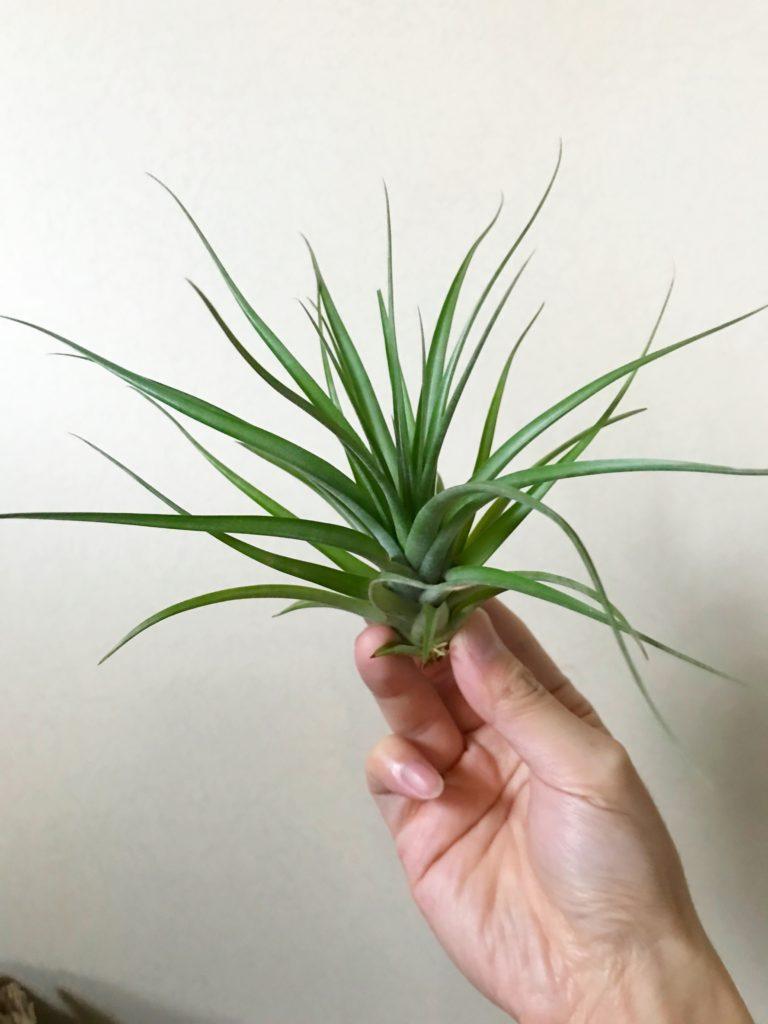チランジア・ブラキカウロス×コンコロール Tillandsia brachycaulous × T. concolor
