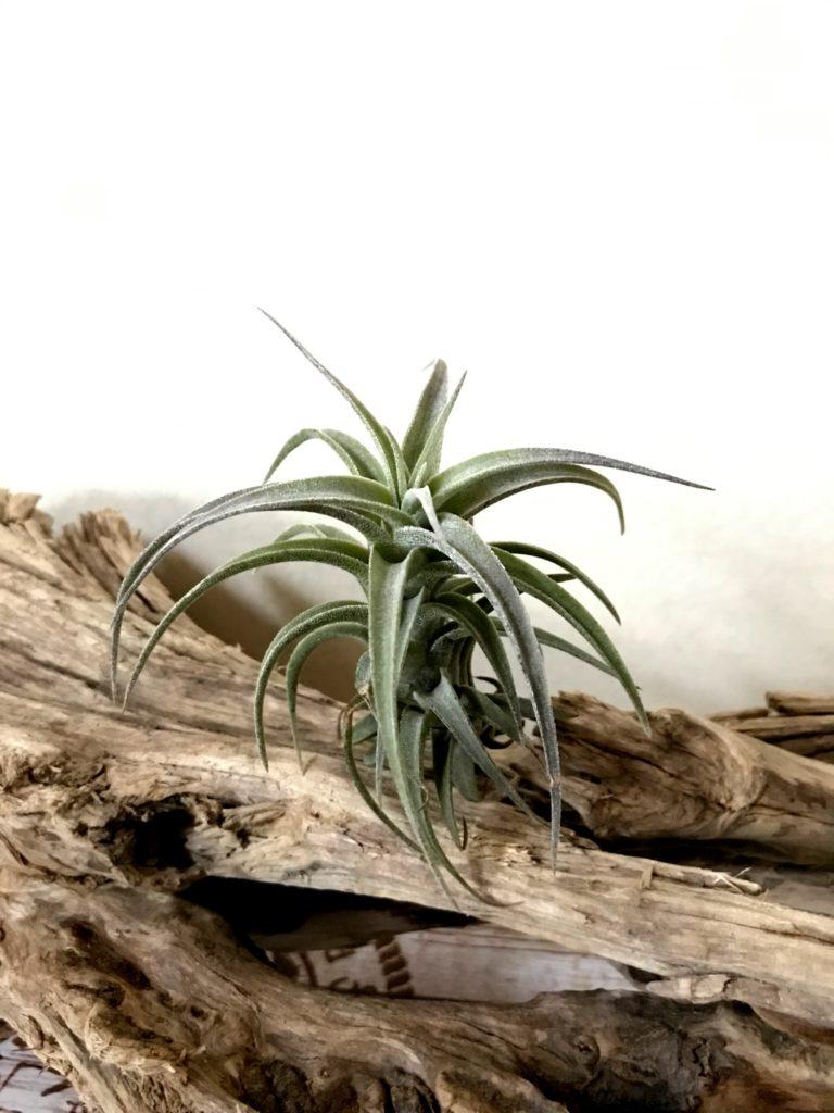 チランジア・ラティフォリア・ドワーフフォーム Tillandsia latifolia 'Dwarf Form'