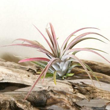 【Frontier Plants】オンラインストア チランジア16点入荷のお知らせ【ブロメリア】
