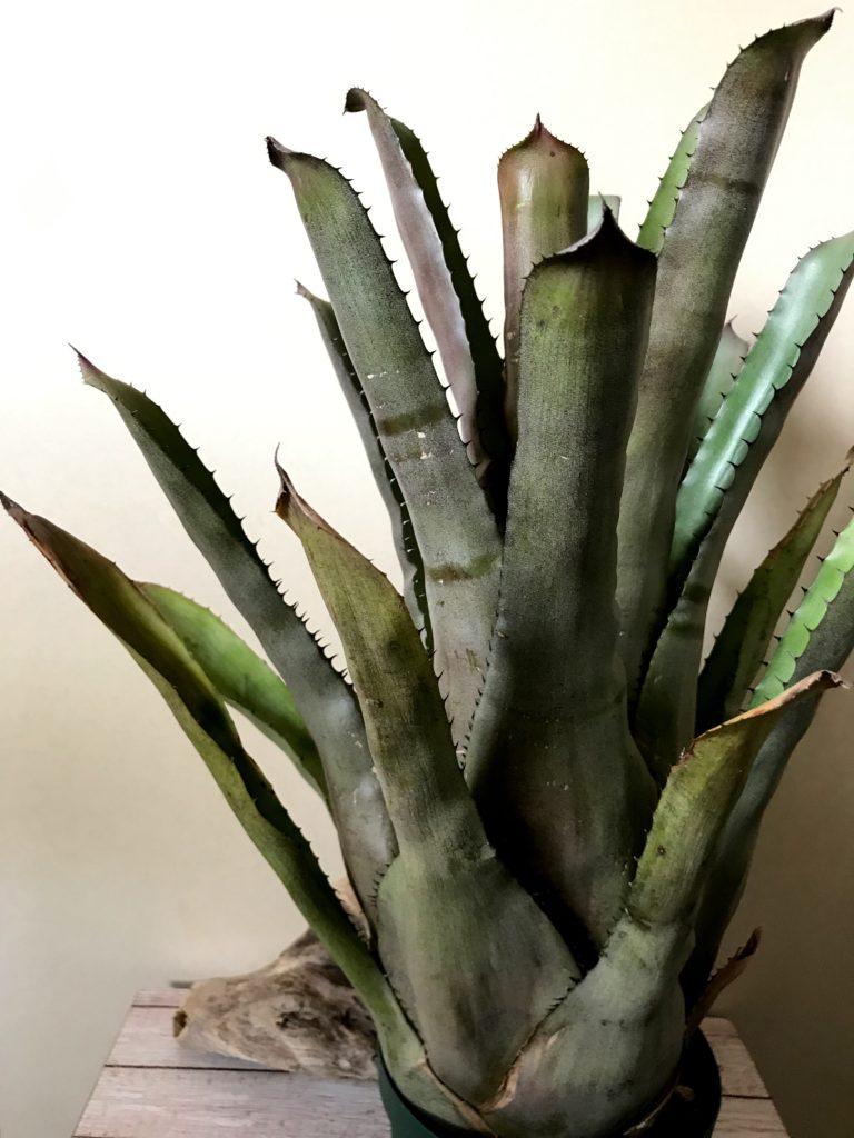 エクメア・チャンティニー × ホヘンベルギア・ヴェスティタ Aechmea chantinii × Hohenbergia vestita