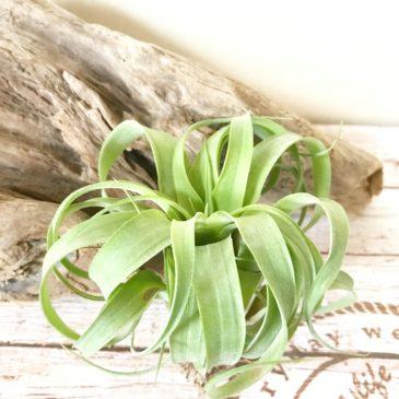 チランジア・ストレプトフィラ・ハイブリッド#0589 Tillandsia streptophylla Hybrids #0589 ティランジア育て方 図鑑