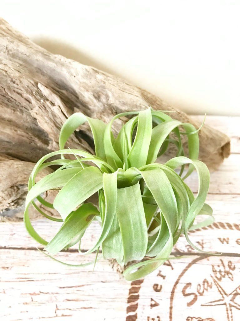 チランジア・ストレプトフィラ・ハイブリッド#0589 Tillandsia streptophylla Hybrids #0589