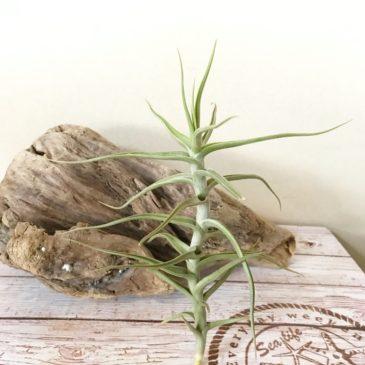 チランジア・メレリアナ Tillandsia mereliana ティランジア育て方 図鑑