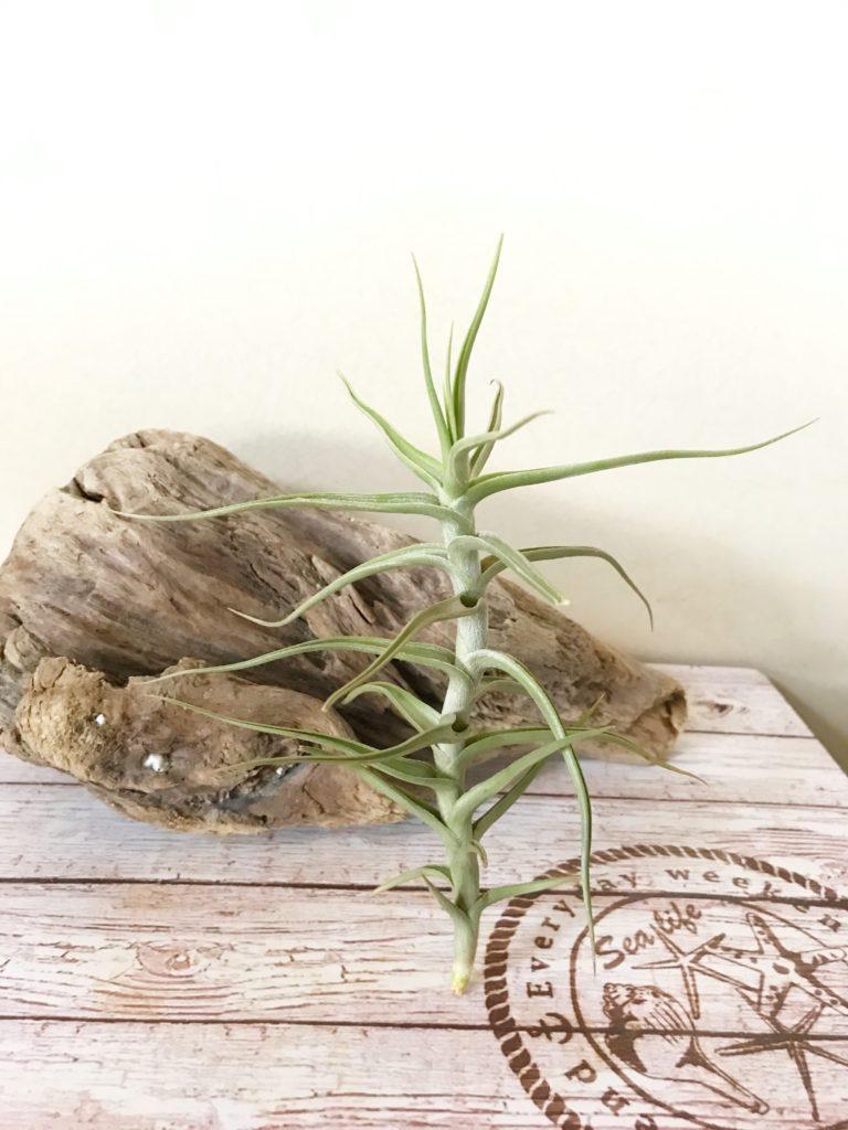 チランジア・メレリアナ Tillandsia mereliana
