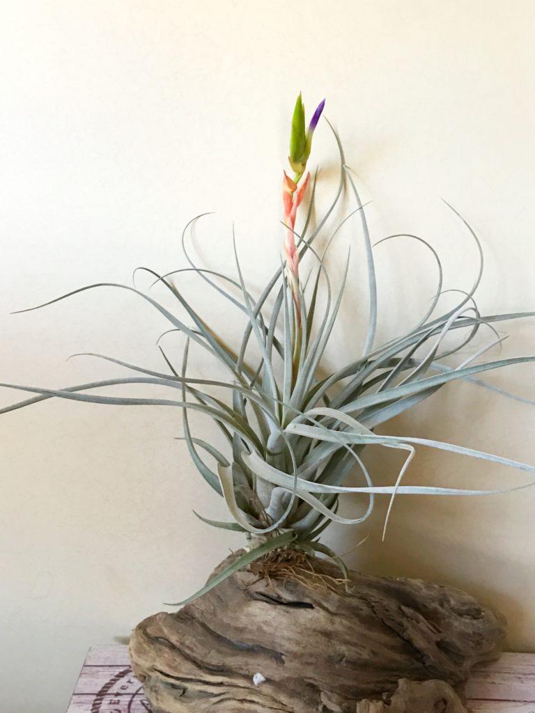 チランジア・ファシクラータ・ホンジュレンシス Tillandsia fasciculata 'Hondurensis'