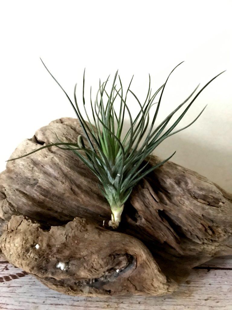 チランジア・モンタナ・ブラック Tillandsia montana 'Black'