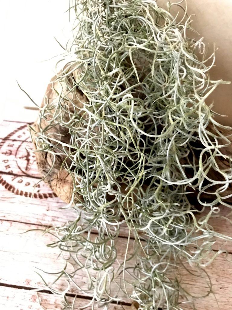 チランジア・ウスネオイデス・カーリーフォーム Tillandsia usneoides 'Curly Form'