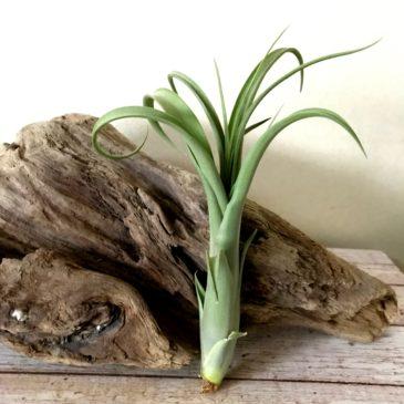 チランジア・カピタータ×バルビシアーナ Tillandsia capitata × T.balbisiana ティランジア育て方 図鑑