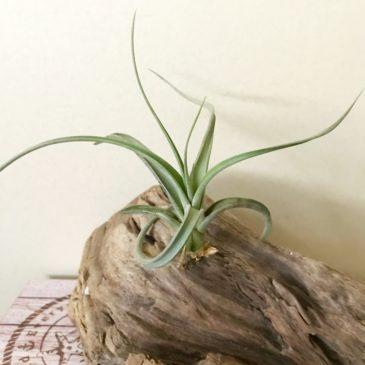 チランジア・パウシフォリア×ストレプトフィラ Tillandsia paucifolia × T. streptophylla ティランジア育て方 図鑑