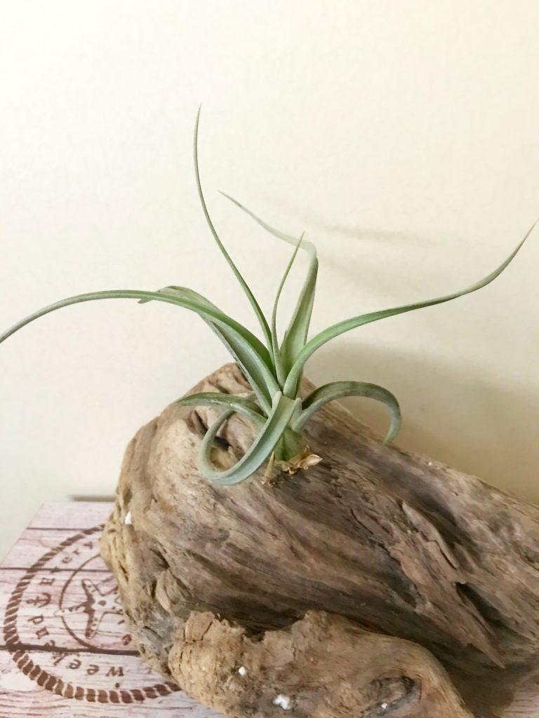 チランジア・パウシフォリア×ストレプトフィラ Tillandsia paucifolia × streptophylla