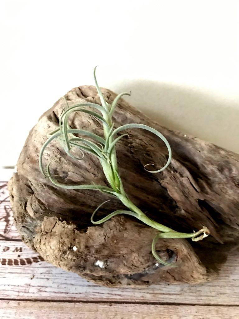 チランジア・クロカータ・ジャイアント Tillandsia crocata 'Giant'