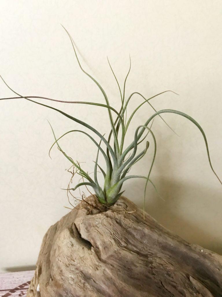 チランジア・ブッツィー×イオナンタ Tillandsia butzii × T. ionantha