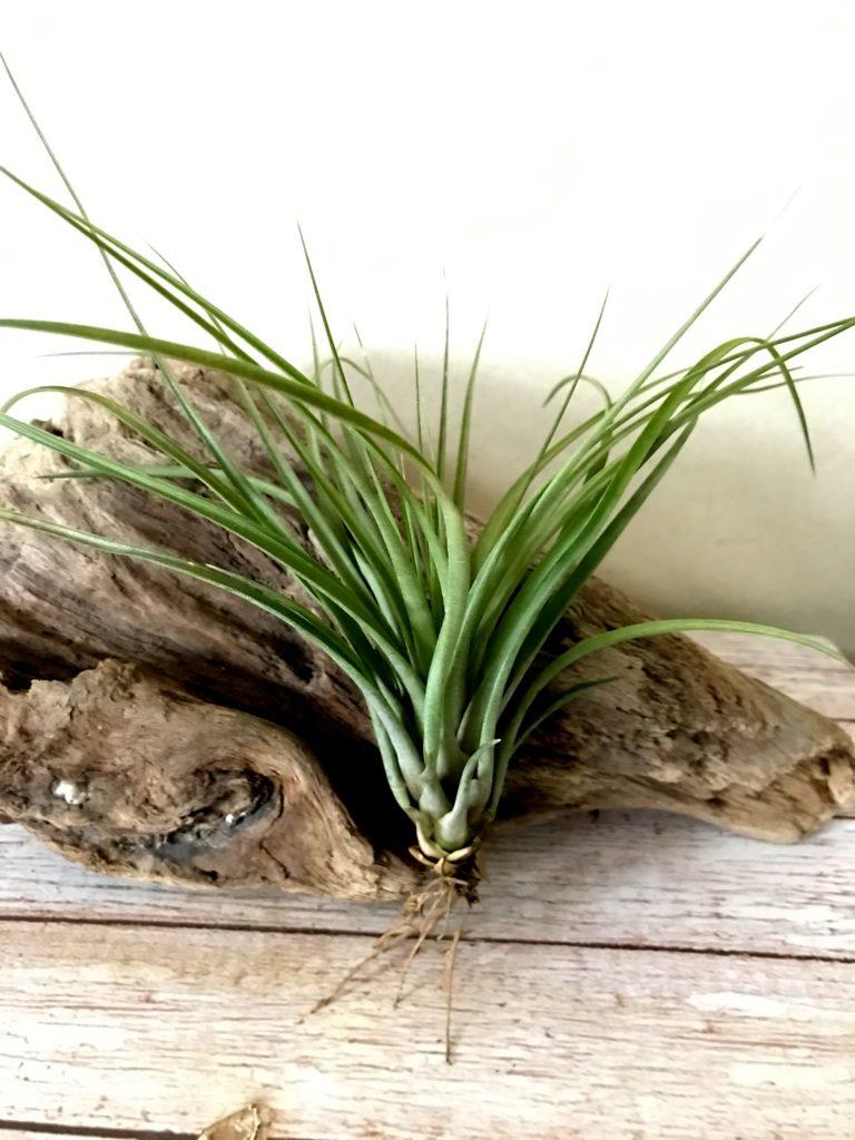チランジア・ロドリゲジアナ×ブラキカウロス Tillandsia rodrigueziana × T. brachycaulos