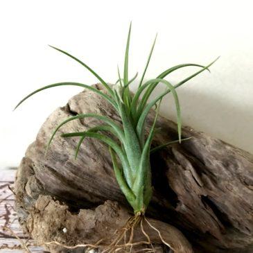 チランジア・イオナンタ×パウシフォリア Tillandsia ionantha x T. paucifolia ティランジア育て方 図鑑