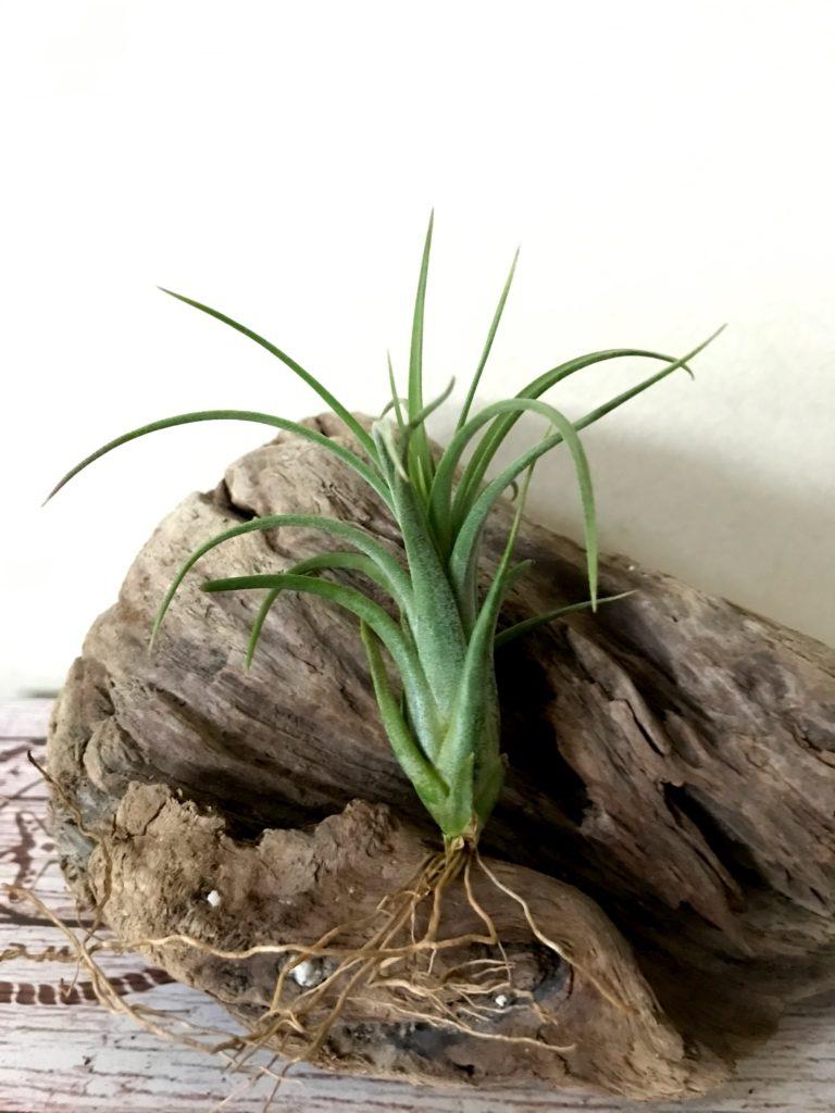 チランジア・イオナンタ×パウシフォリア Tillandsia ionantha x T. paucifolia