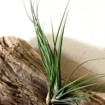 チランジア・セイデリアナ Tillandsia seideliana ティランジア育て方 図鑑