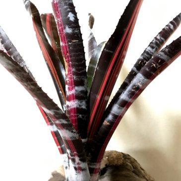 エクメア・ロベルトメネスカル Aechmea `Roberto Menescal' 育て方 図鑑 【Frontier Plants】