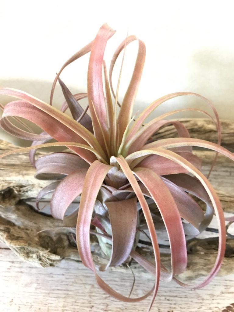 チランジア・ ラブノット Tillandsia Love Knot (T. capitata x T. streptophylla)