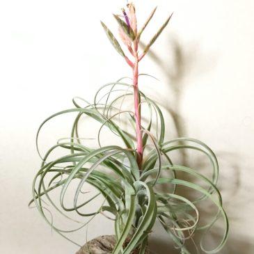 チランジア・ハイジグーツ Tillandsia Hedi Gulz ( T. exserta x T. streptophylla) ティランジア育て方 図鑑