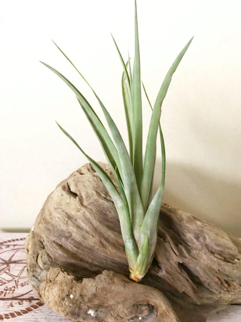 チランジア・ネブリナ Tillandsia Neblina(T. El Ultimo (T. fasciculata × T. concolor)×T. streptophylla)