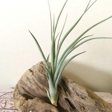 チランジア・フォーグレーターグローリー Tillandsia For Greater Glory (T. xerographica × T. balbisiana) ティランジア育て方 図鑑