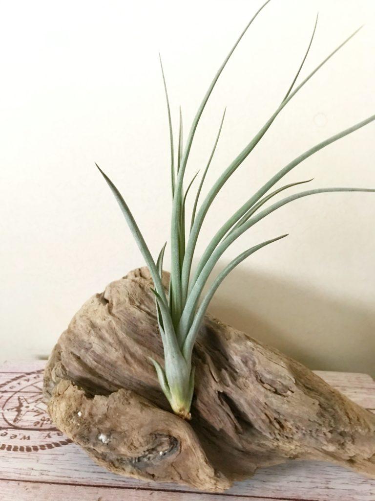 チランジア・フォーグレーターグローリー Tillandsia For Greater Glory (T. xerographica × T. balbisiana)