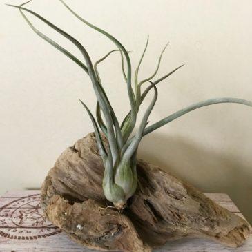 チランジア・ゴーゴン(ゴルゴン) Tillandsia Gorgon (T. streptophylla × T. pseudobaileyi) ティランジア育て方 図鑑
