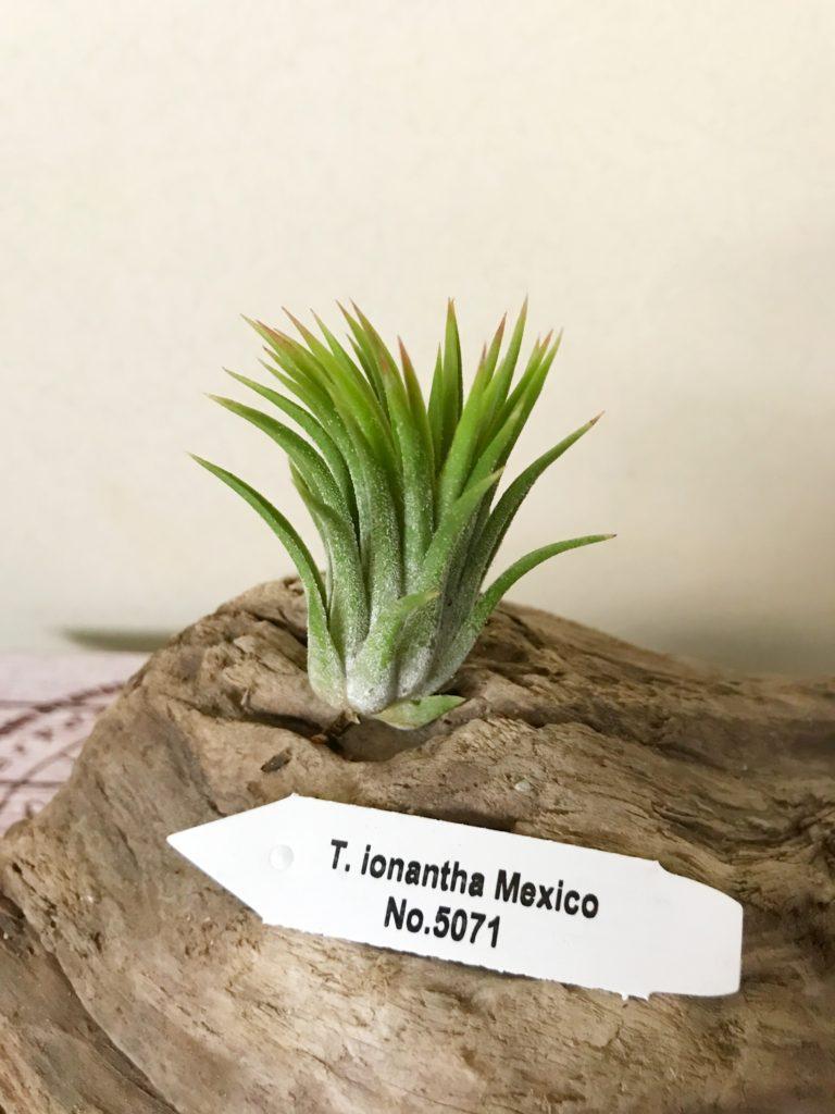 チランジア・イオナンタ・メキシコ(No.5071) Tillandsia ionantha 'Mexico' (No.5071)
