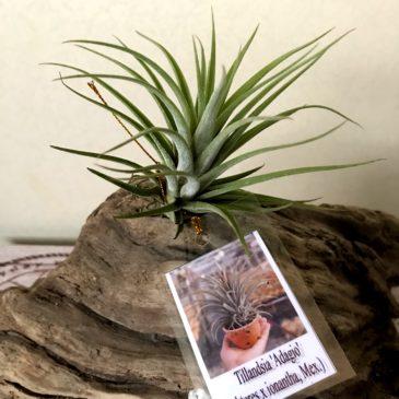 チランジア・アダージョ Tillandsia Adagio (T. subteres × T. ionantha (Mexico)) ティランジア育て方 図鑑