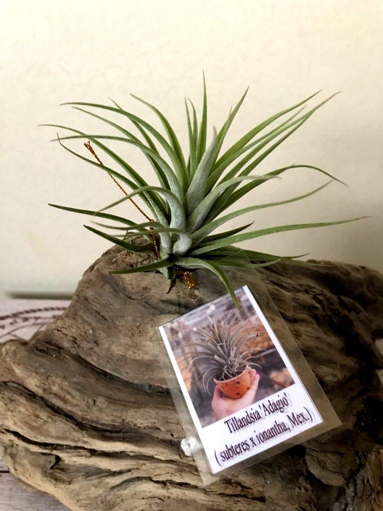 チランジア・アダージョ Tillandsia Adagio (T. subteres × T. ionantha (Mexico))