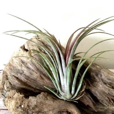 チランジア・ティムズアウトバースト Tillandsia Timm's Outburst(T. capitata var. domingensis × T. ionantha 'Fuego') ティランジア育て方 図鑑