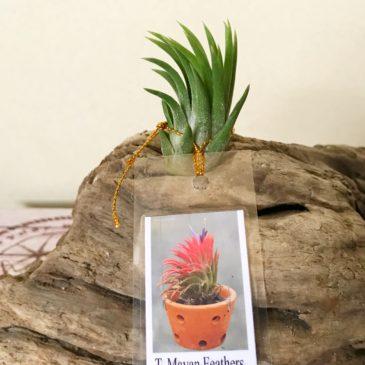 【Frontier Plants】オンラインストア3月16日入荷予定商品の紹介【チランジア・ティランジア】